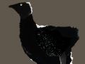 Black chick